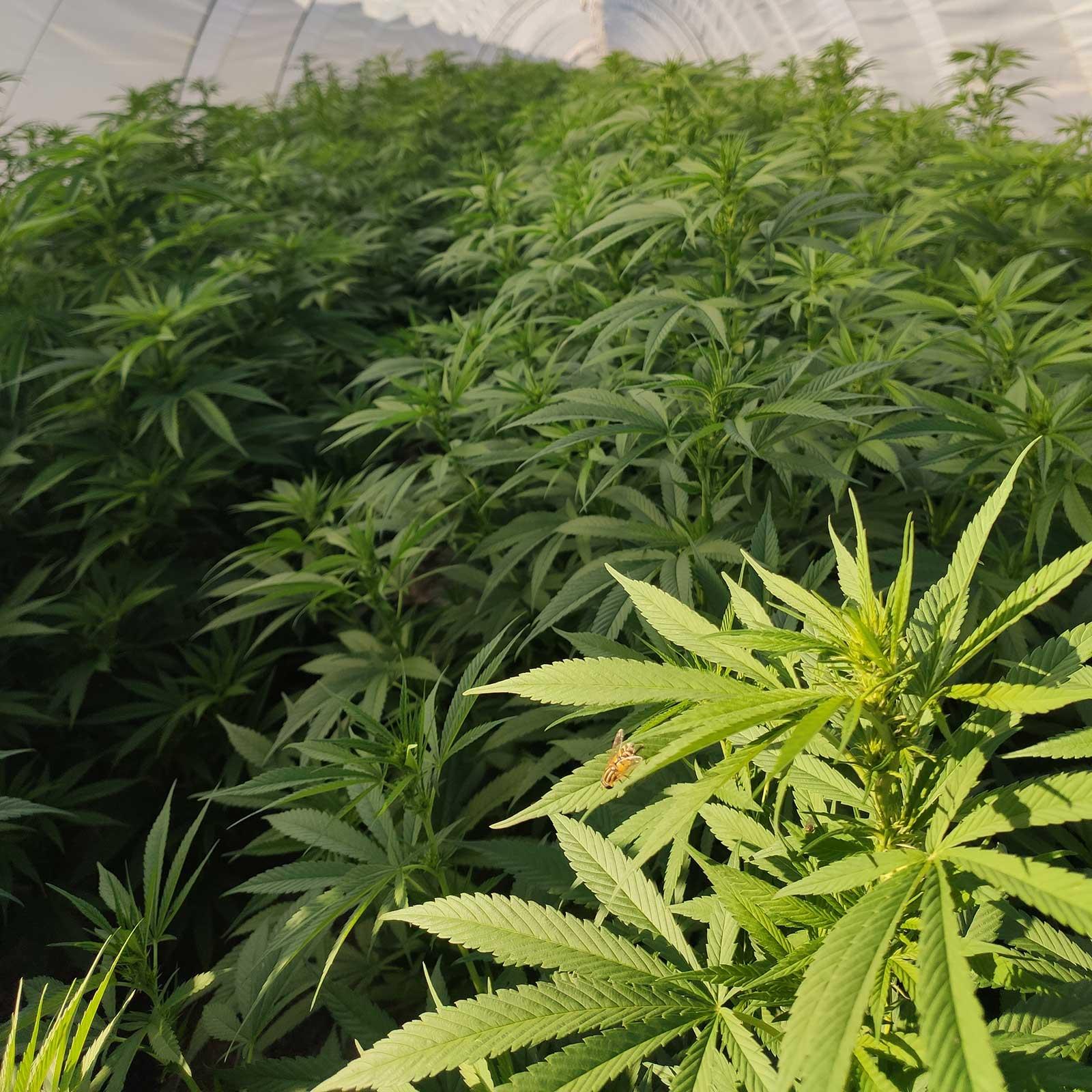 Culture sous serre de Cannabis légale CBD